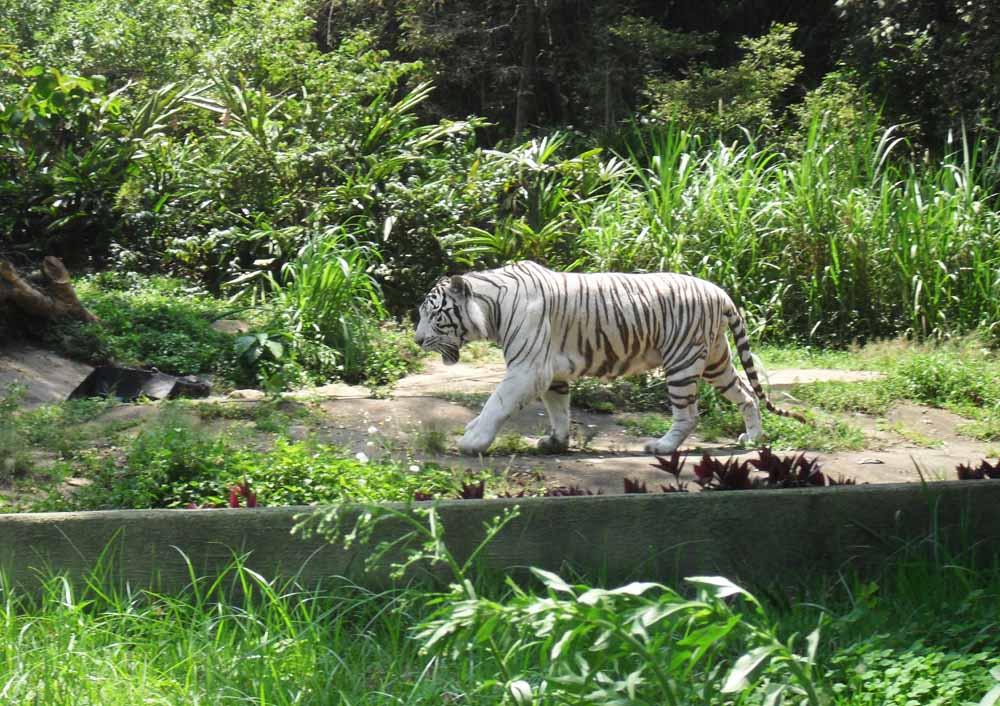 Zoo de São Paulo - Tigre branco