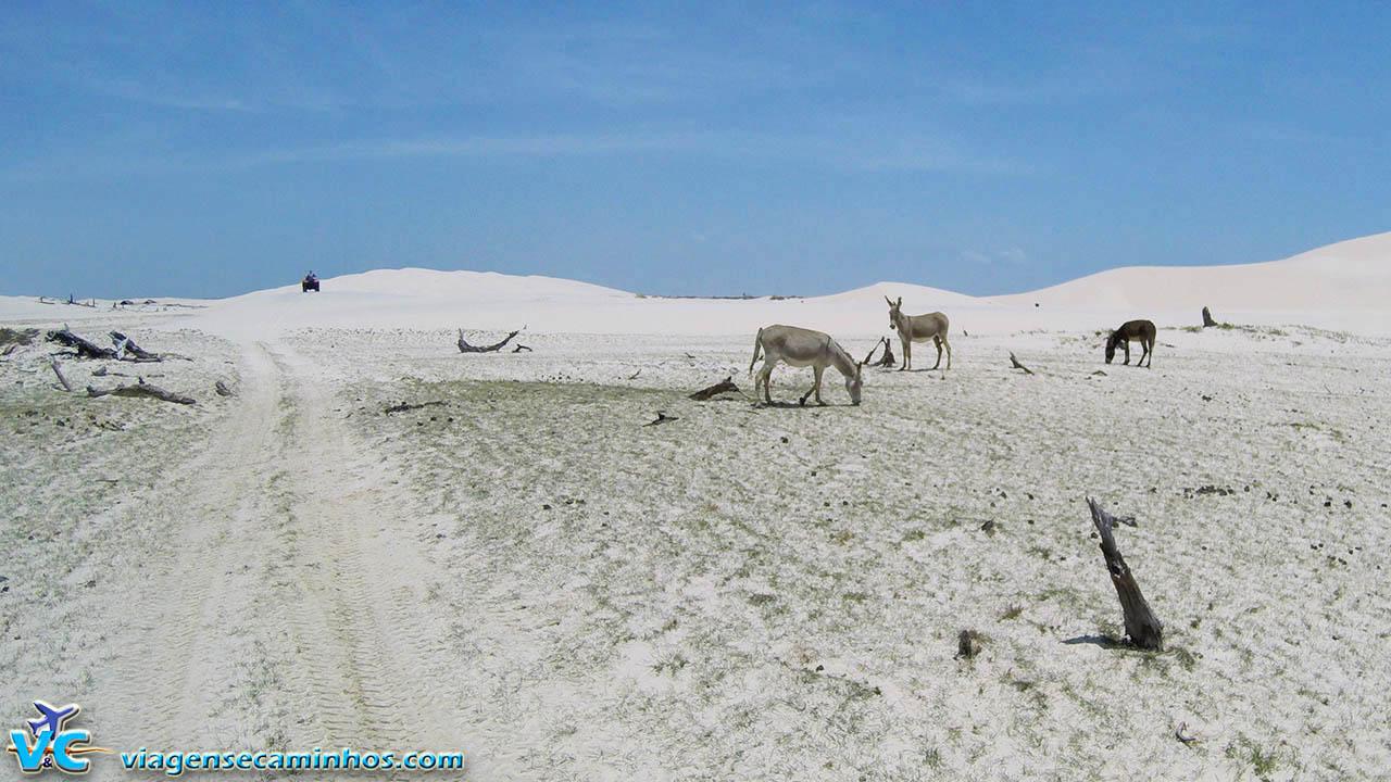 Jumentos entre as dunas dos Pequenos Lençóis